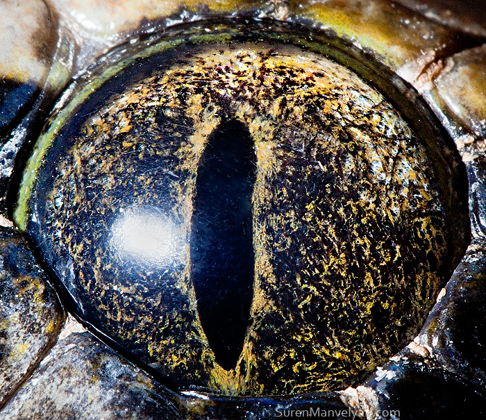 Tiger python (non albino) by Suren Manvelyan