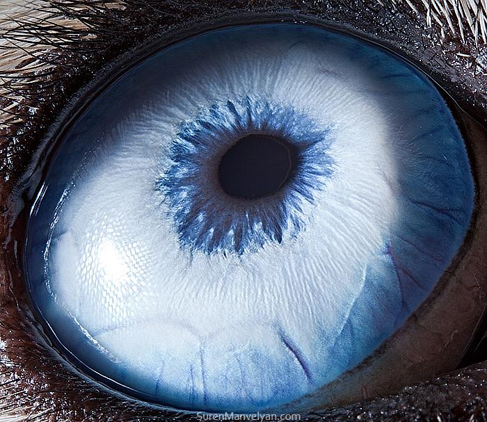 Nahaufnahme eines Husky-Auges von Suren Manvelyan