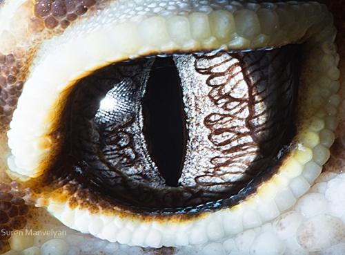 Gecko Eublepharis