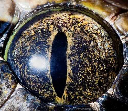 Tiger python (non albino)
